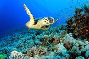 bigstock-Hawksbill-Sea-Turtle-on-coral--37116217